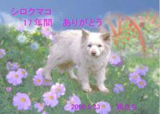 60923シロクマコちゃん